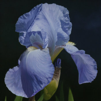 Oil painting - Sunlit Iris